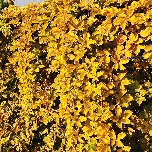 Девичий виноград Йеллоу Волл (Parthenocissus quinquefolia Yellow Wall)